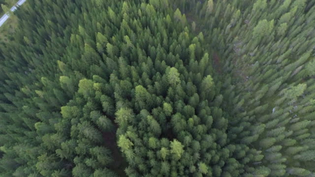Aerial Over pine forest video