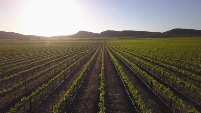 vídeos de stock e filmes b-roll de aerial over vineyard of grape vines - grapes