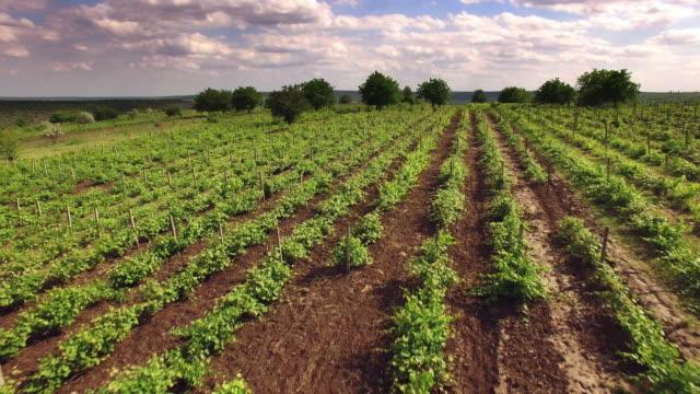 vídeos de stock, filmes e b-roll de antena de 4k sobre plantações de vinha e coelho selvagem running - rústico