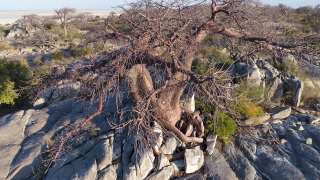 Aerial panning up view of a baobab on Kubu island Aerial panning up view of a baobab on Kubu island, Makgadikgadi Pans ,Botswana salt flat stock videos & royalty-free footage