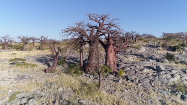 Aerial panning up view of a baobab on Kubu island Aerial panning up view of a baobab on Kubu island, Makgadikgadi Pans ,Botswana baobab tree stock videos & royalty-free footage