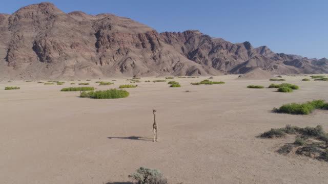 4k aerial panning view of a desert giraffe standing in the hoanib valley,namib desert, namibia - куст стоковые видео и кадры b-roll