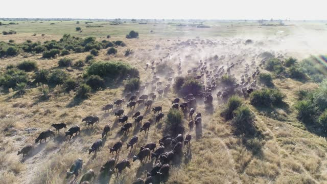 aerial panning view of a large herd of cape buffalo running across the okavango delta, botswana - wildlife travel stock videos and b-roll footage