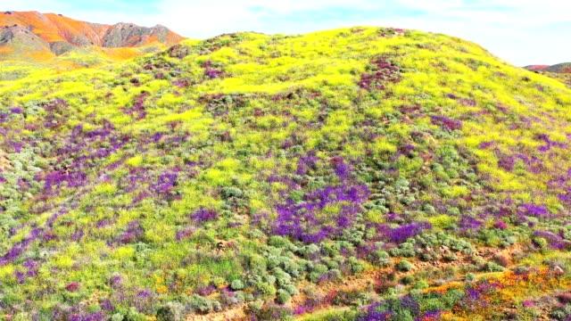 vídeos y material grabado en eventos de stock de panorama aéreo de poppy blooms - amapola planta