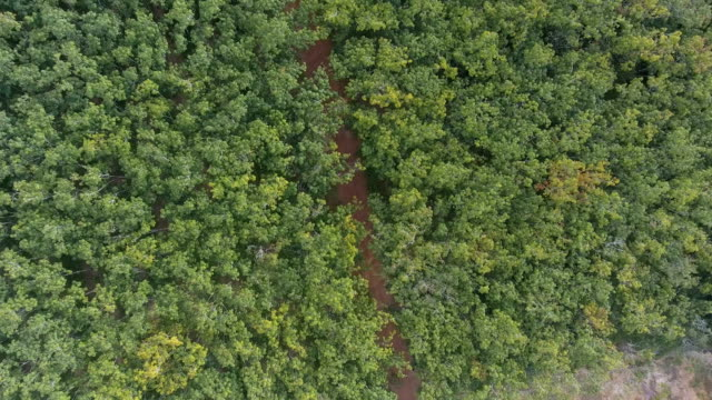 Aerial Para rubber plantation video