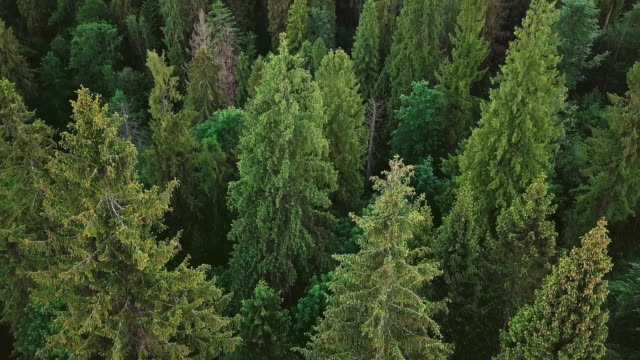 Aerial photography of a mighty forest in the mountains of spruce and pine trees with a camera turning down video