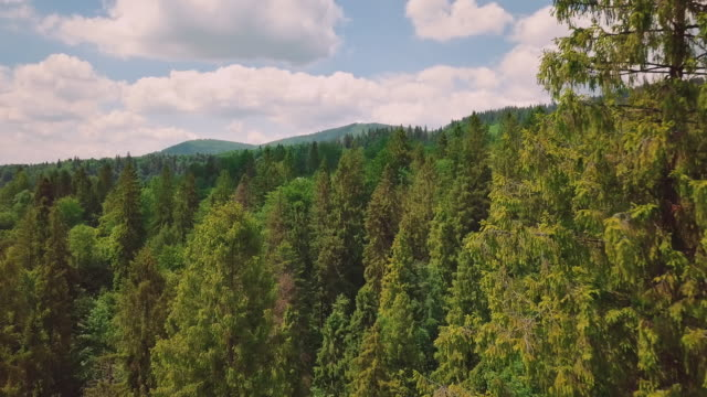 Aerial photography of the valley, mountains, pines, pine needles. The camera flies between the treetops video