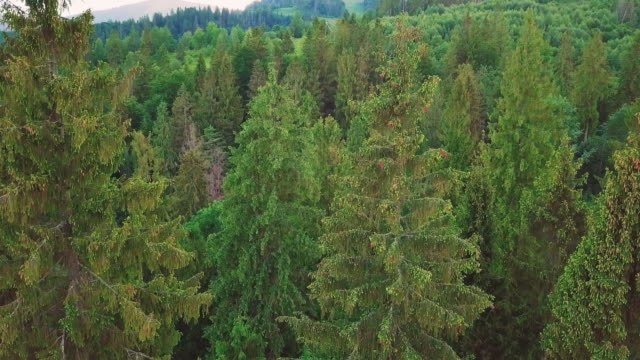 Aerial photography of the valley, mountains, pines, pine needles Tops of trees closeup video