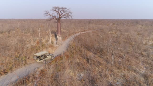 Aerial rear view of a tourist 4x4 game drive vehicle approaching a large Baobab tree on a sand road in the Botswana bushveld Aerial rear view of a tourist 4x4 game drive vehicle approaching a large Baobab tree on a sand road in the Botswana bushveld baobab tree stock videos & royalty-free footage