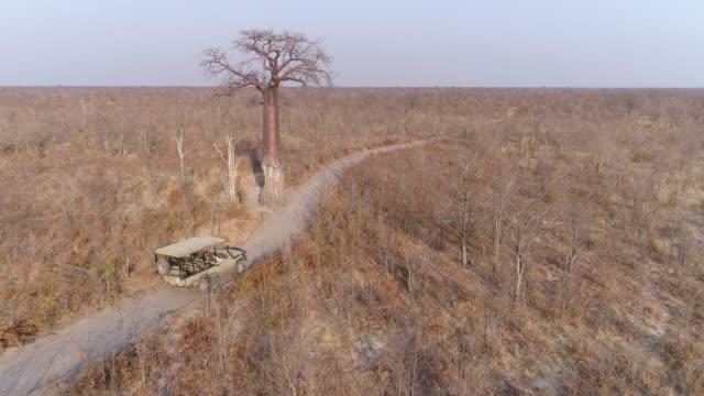 hinteren luftaufnahme eines touristischen 4 x 4 pirschfahrt fahrzeugs nähert sich einen großen baobab-baum auf einem sandweg in botswana buschfeld - affenbrotbaum stock-videos und b-roll-filmmaterial