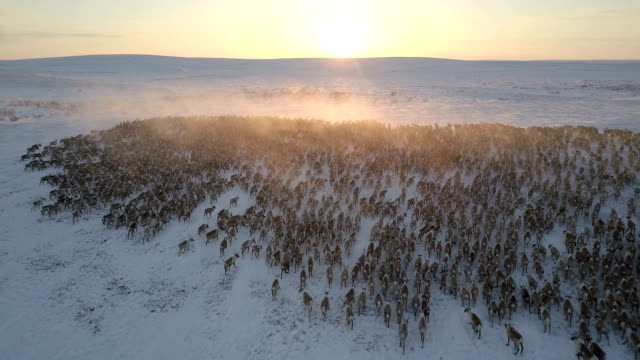 Video aerial, reindeer herd, sunset, dolly In, looking forward, almost tracking the animals