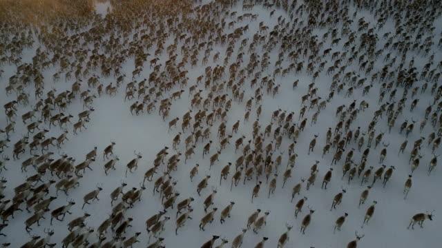 Video aerial reindeer herd, tilt up, looking down, almost tracking the animals