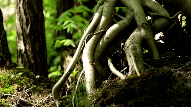 aerial roots of the tree