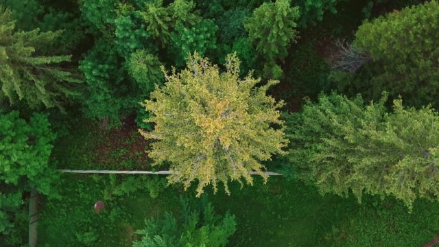 Aerial rotation pine spruce video