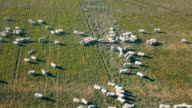 istock Aerial Sheep on Green fields in top view 1271353335