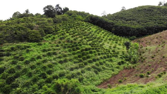 luftaufnahmen von fliegender drohne einer schönen grünen plantage in der asiatischen landschaft felder mit dem anbau von kaffee in thailand - rohe kaffeebohne stock-videos und b-roll-filmmaterial