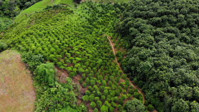 Aerial shooting from flying drone of a beautiful green plantation in  Asian countryside Fields with the cultivation of coffee in Thailand Aerial shooting from flying drone of a beautiful green plantation in  Asian countryside Fields with the cultivation of coffee in Thailand coffee stock videos & royalty-free footage
