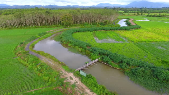 Aerial shot 4K , Green rice field in south of thailand video