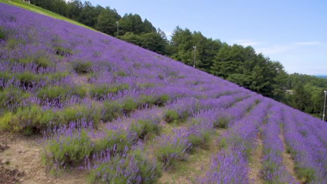 aerial skott blommande lavendel flower field, hokkaido japan - hokkaido bildbanksvideor och videomaterial från bakom kulisserna