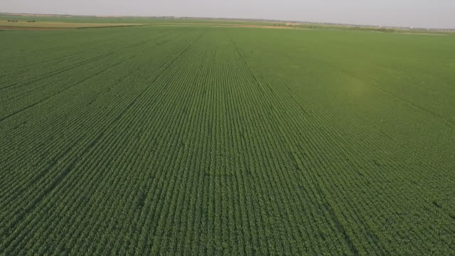 Aerial shot clear green Soy Bean Field and horizon in summer time video