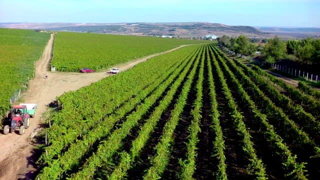 Aerial Shot  Harvesting Wine Grapes in Vineyard video