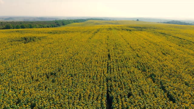 Aerial shot landscape with sunflower