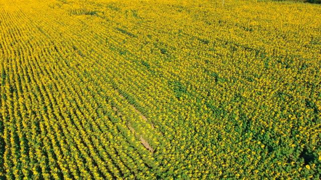 ヒマワリの空中ショット風景 - マルチコプター点の映像素材/bロール