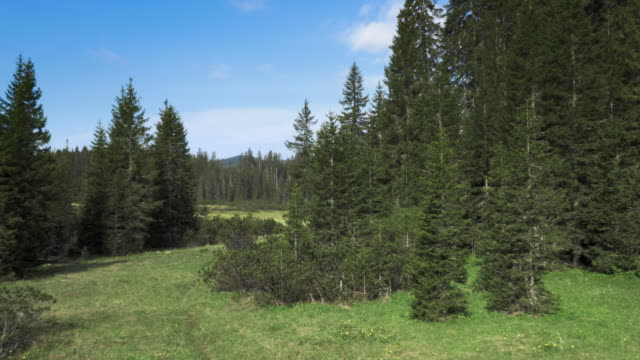 Aerial shot of a clearing in the middle of a spruce tree forest video
