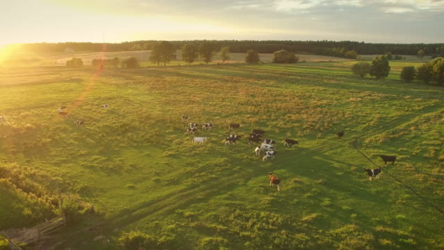 aerial shot of a cows grazing on a beautiful meadow. it's warm and sunny day. - ранчо стоковые видео и кадры b-roll