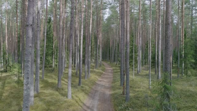 Aerial shot of a path in pine and spruce tree forest video