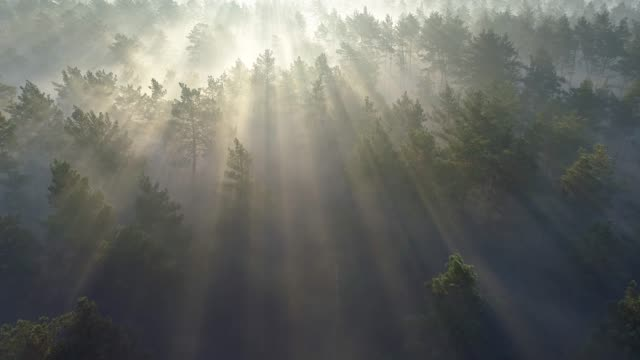 Aerial shot of a sunrise in a misty pine forest. 4K, UHD