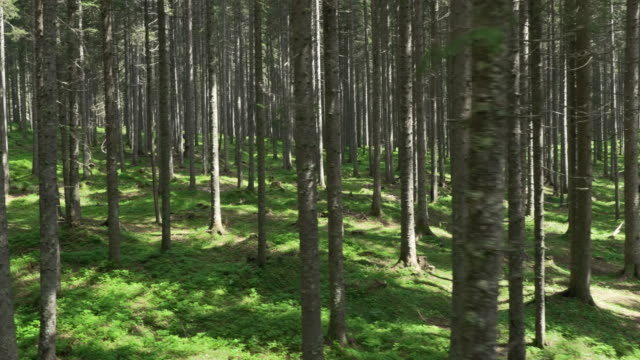 Aerial shot of a vast spruce tree forest understory layer video