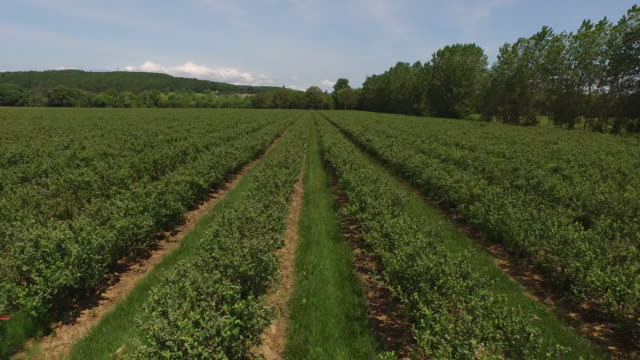 Aerial shot of blueberry farm video