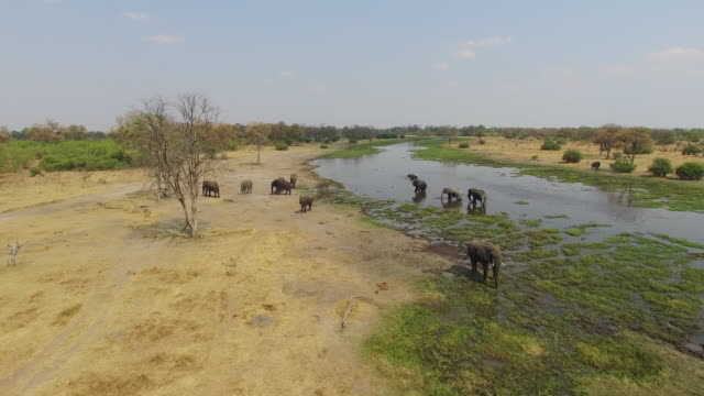 Aerial shot of elephants drinking at a river in the Okavango Delta video