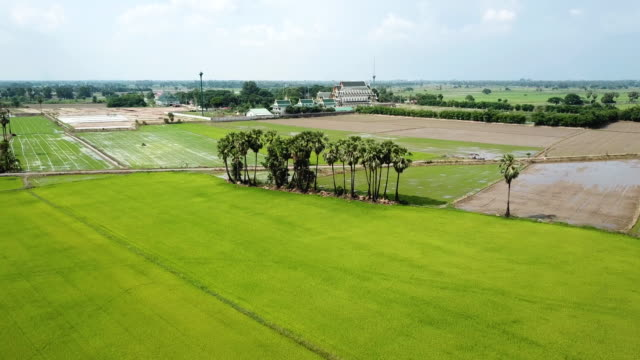 Aerial shot of green rice paddy field with cloud sky - vídeo