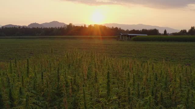 Aerial shot of hemp field Wide aerial sunset view of a beautiful CBD hemp field. Cannabis plants cultivation. cbd oil stock videos & royalty-free footage