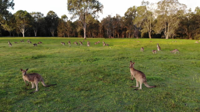 Aerial shot of Kangaroos grazing at sunset, medium shot reversing Aerial shot of Kangaroos grazing at sunset, medium shot reversing. Queensland, Australia kangaroo stock videos & royalty-free footage