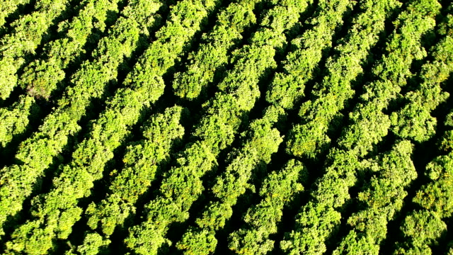 Aerial shot of orange orchard video