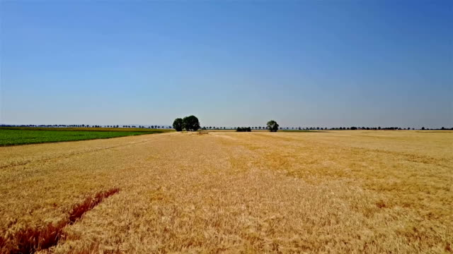 Aerial shot of ripe wheat ready for the harvest Flying over a ripe wheat field ready for harvesting rye grain stock videos & royalty-free footage