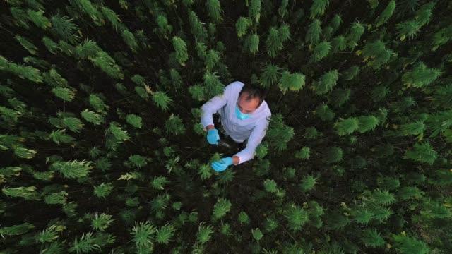 flygfoto av forskare på marijuana fält observera cbd hampa blommor med förstoringsglas - hasch bildbanksvideor och videomaterial från bakom kulisserna