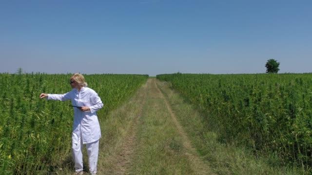 Aerial shot of scientist walking by cultivated marijuana field observing CBD hemp plants