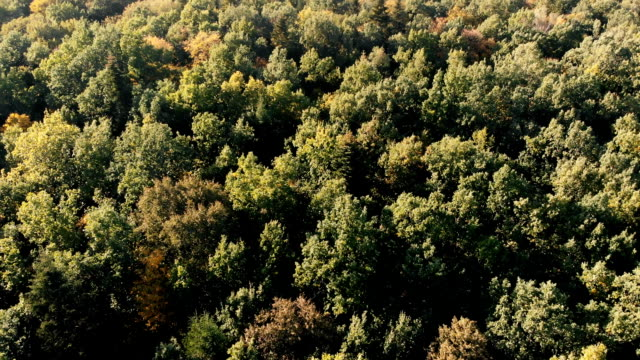 Aerial shot of the beautiful green wood in the Carpathian Mountains