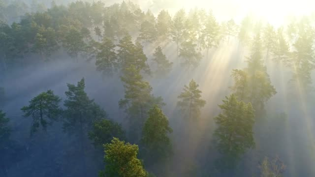 aerial shot of warm sunrays seen through pine trees during sunrise in spring forest. 4k, uhd - trees in mist stock videos & royalty-free footage