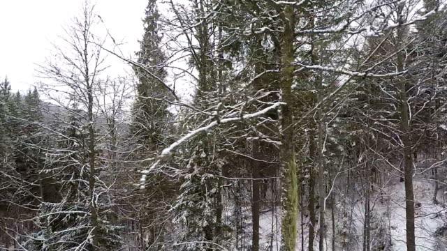 antenn skott: winter forest täckt med snö. - städsegrön växt bildbanksvideor och videomaterial från bakom kulisserna