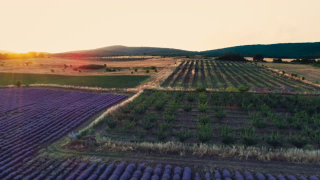 Aerial sunset view over agricultural fileds in the countryside. Lavender and wheat plants.