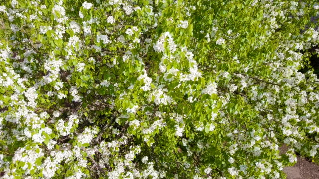 Aerial survey of blossoming crab tree. Top view