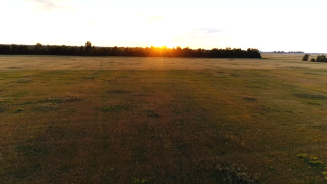 Aerial survey of wheaten golden field at sunset video