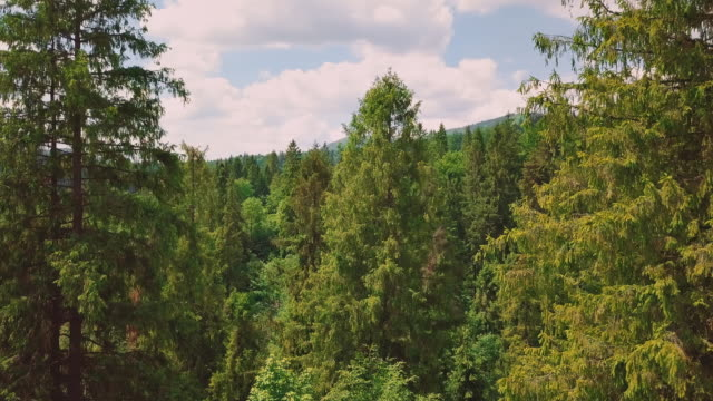 aerial through the valley, mountains, pines, pine needles. a close-up flight between the treetops - trees in mist stock videos & royalty-free footage