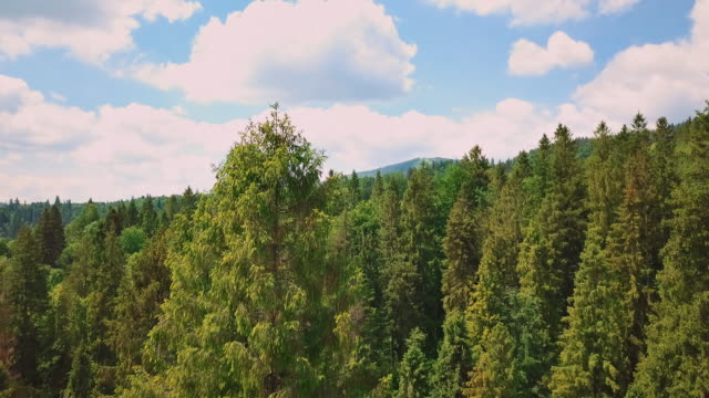 Aerial through the valley, mountains, pines, pine needles. Blue sky and green pines video