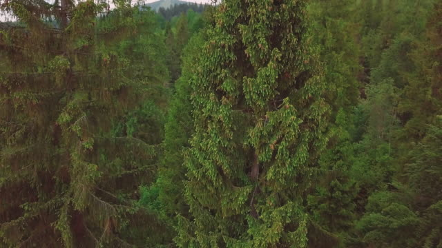 Aerial through the valley, mountains, pines, pine needles Close-up video
